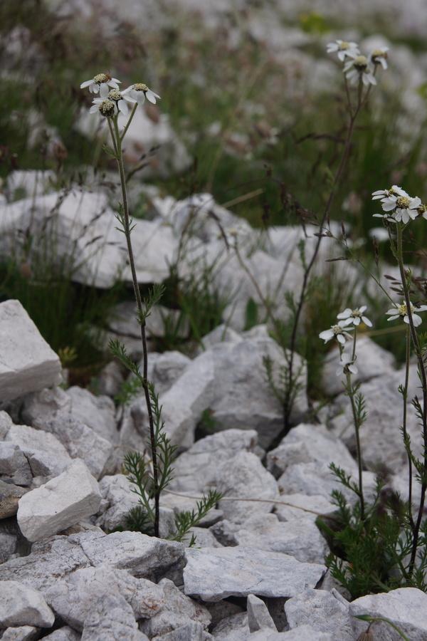 Črnikasti rman (Achillea atrata), Krnica (Kanin), 2013-07-25 (Foto: Benjamin Zwittnig)