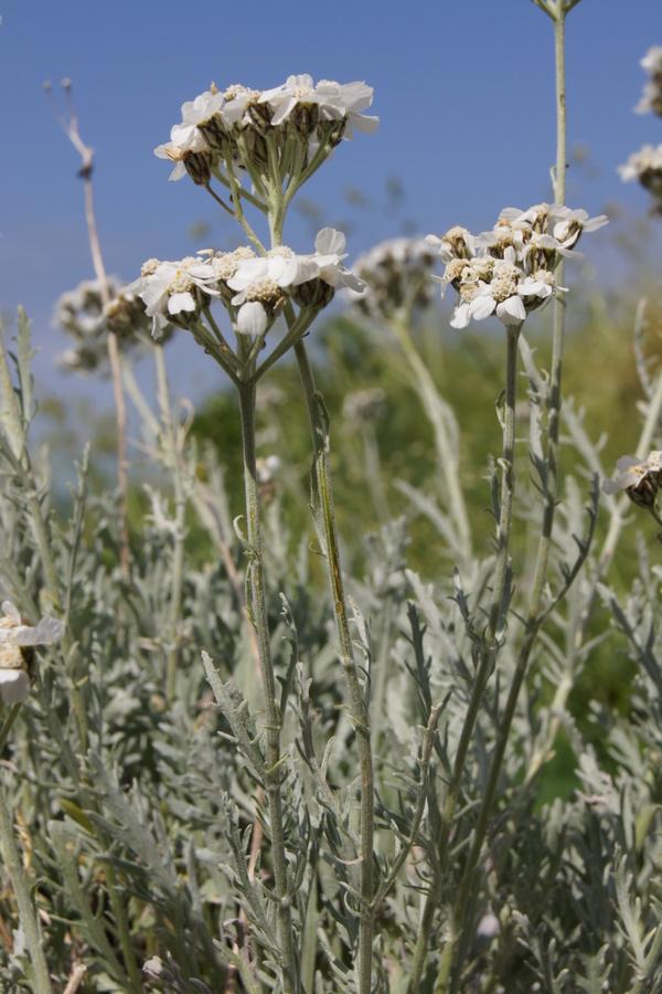 Planinski pelin (Achillea clavenae), planina Leskovca - Krn, 2010-07-19 (Foto: Benjamin Zwittnig)