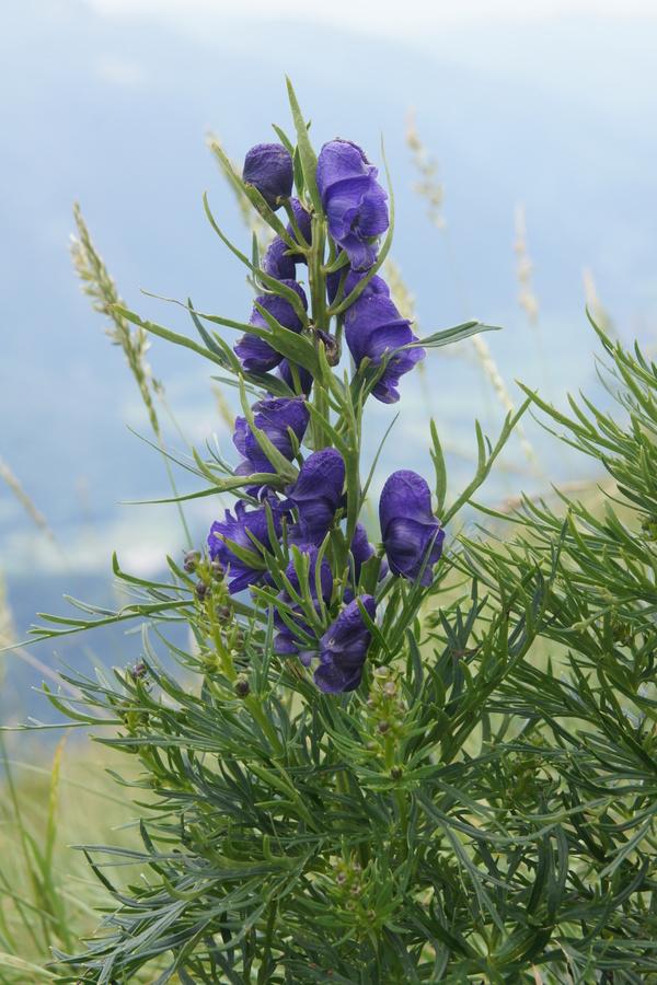 Ozkolistna preobjeda (<i>Aconitum angustifolium</i>), južno pobočje Krna, 2010-07-19 (Foto: Benjamin Zwittnig)