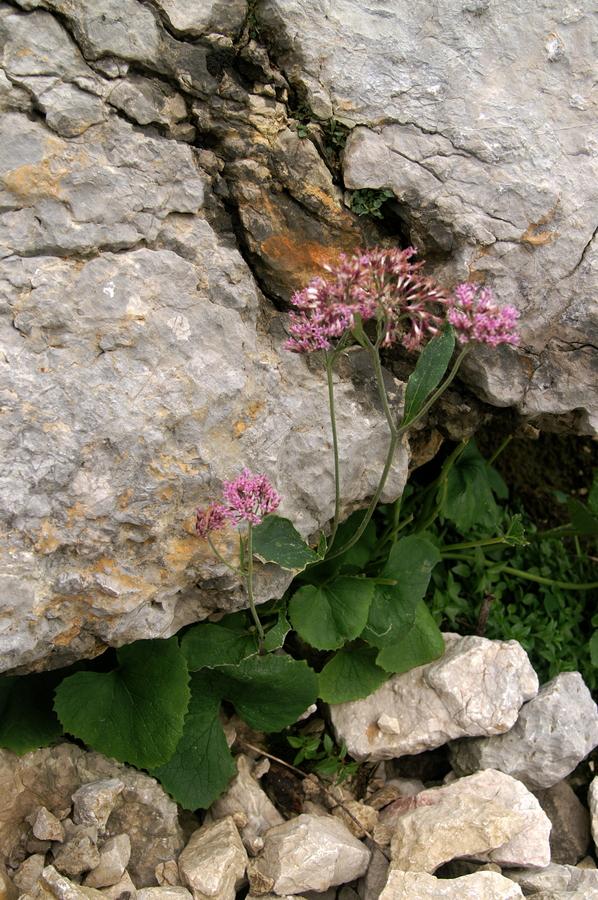 Goli lepen (Adenostyles glabra), Kurica, 2009-09-12 (Foto: Benjamin Zwittnig)