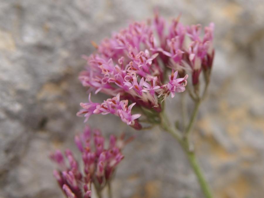 Goli lepen (<i>Adenostyles glabra</i>), Kurica, 2009-09-12 (Foto: Benjamin Zwittnig)