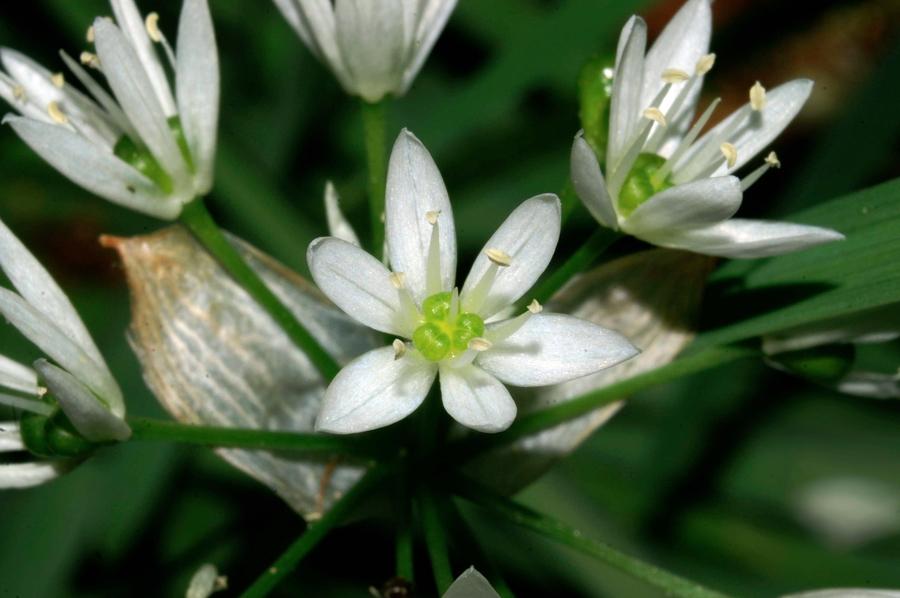 Čemaž (<i>Allium ursinum</i>), Lj., 2006-05-17 (Foto: Benjamin Zwittnig)