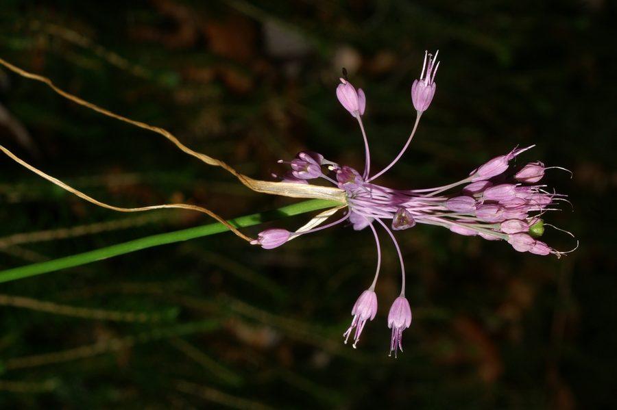 Lepi luk (<i>Allium carinatum ssp. pulchellum</i>), Katarina – Grmada, 2007-08-18 (Foto: Benjamin Zwittnig)