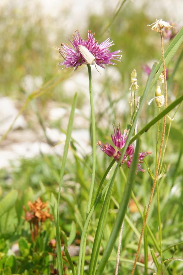 Škrlatni luk, kamniški luk (<i>Allium kermesinum</i>), pod Velikim vrhom (Dleskovec), 2013-08-29 (Foto: Benjamin Zwittnig)