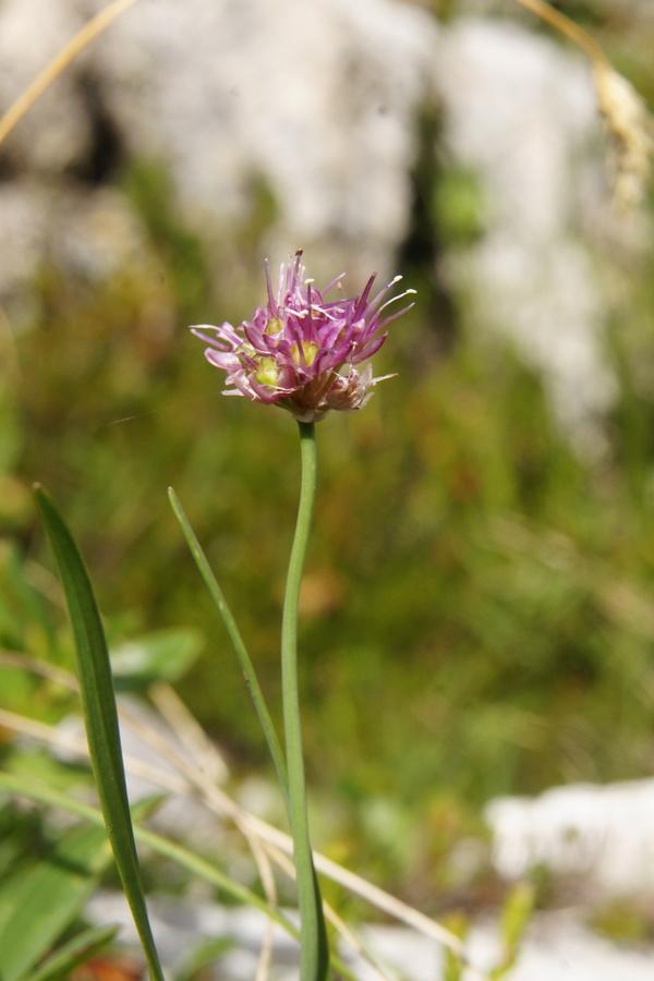 Škrlatni luk, kamniški luk (Allium kermesinum), pod Velikim vrhom (Dleskovec), 2013-08-29 (Foto: Benjamin Zwittnig)