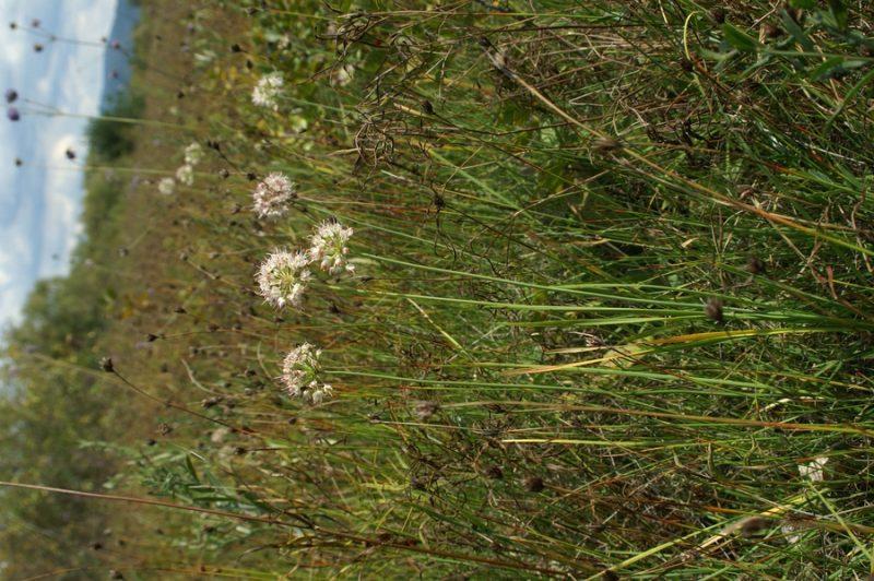 Dišeči luk (Allium suaveolens), Cerkniško jezero, 2007-09-09 (Foto: Benjamin Zwittnig)