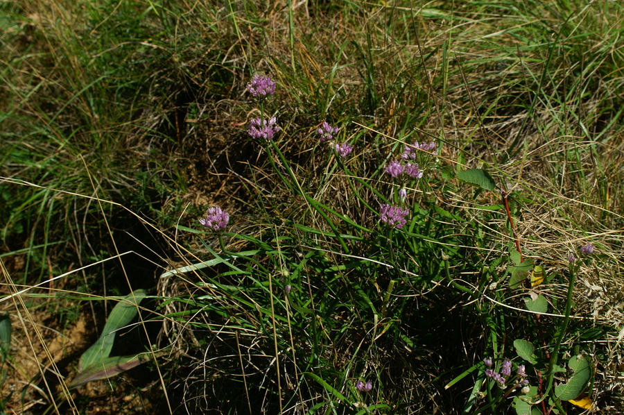 Gorski luk (<i>Allium senescens</i>), Podnanos, 2006-09-24 (Foto: Benjamin Zwittnig)