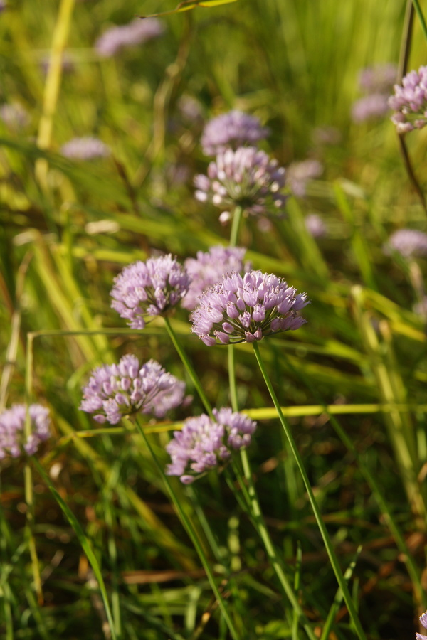 Dišeči luk (<i>Allium suaveolens</i>), Radensko polje, 2013-07-31 (Foto: Benjamin Zwittnig)