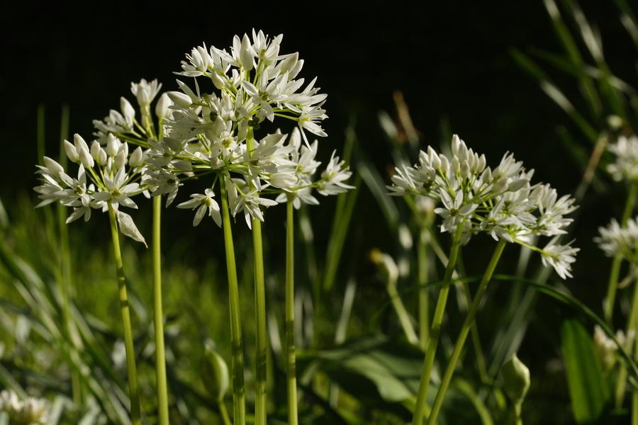 Čemaž (Allium ursinum), Lj., 2014-04-15 (Foto: Benjamin Zwittnig)