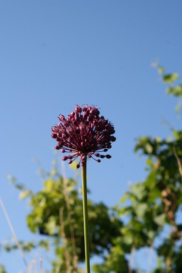 Vinograjski luk (<i>Allium vineale</i>), Goče, 2008-06-21 (Foto: Kristina Ugrinović)