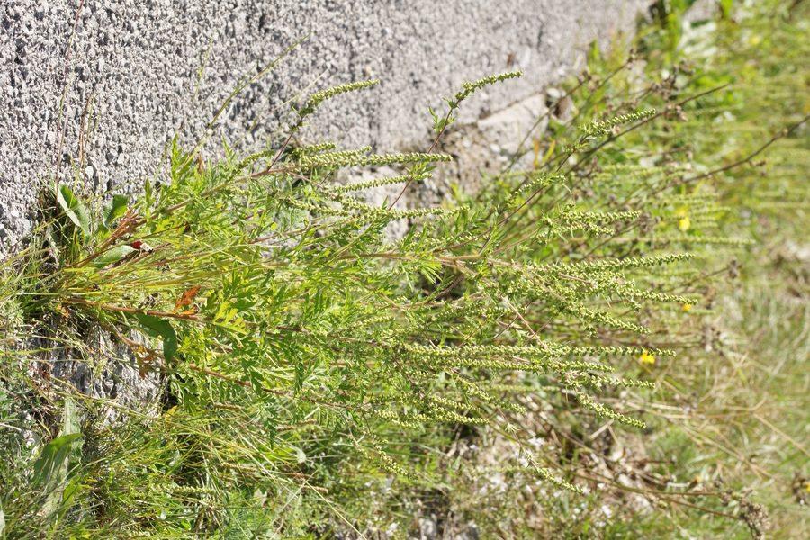 Pelinovolistna žvrklja (<i>Ambrosia artemisifolia</i>), pod Vremščico, 2015-09-06 (Foto: Benjamin Zwittnig)