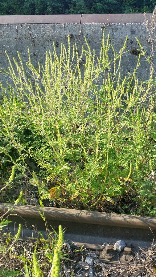 Pelinovolistna žvrklja (Ambrosia artemisifolia), Črnomelj, 2016-08-28 (Foto: Benjamin Zwittnig)