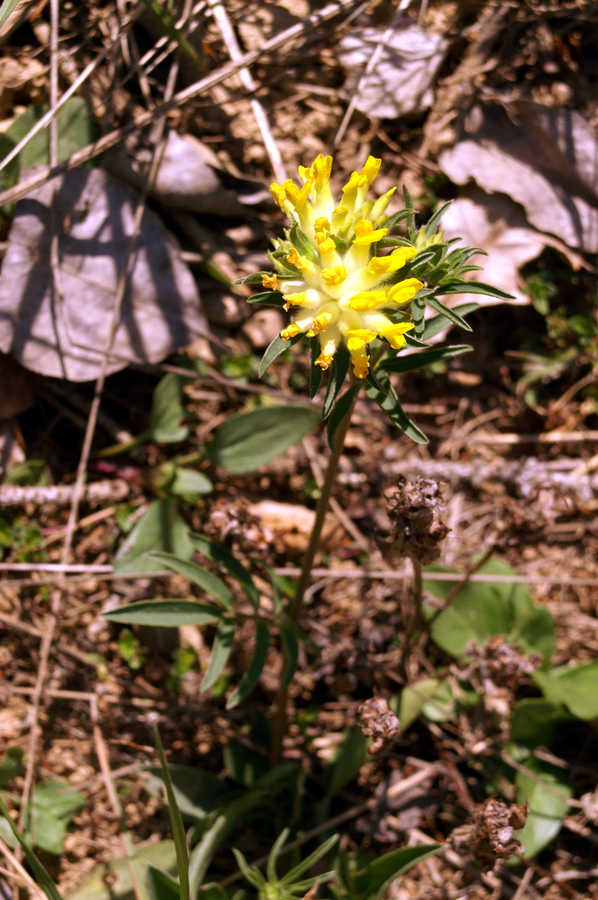 Pravi ranjak (<i>Anthyllis vulneraria ssp. vulneraria</i>), Horjul, 2007-04-14 (Foto: Benjamin Zwittnig)