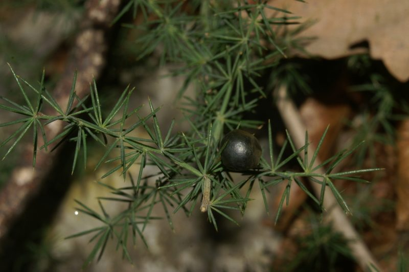 Ostrolistni beluš (Asparagus acutifolius), Pliskovica, 2007-02-04 (Foto: Benjamin Zwittnig)