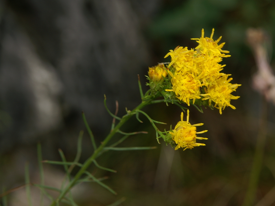 Zlata nebina (<i>Aster linosyris</i>), Grmada/Šmarna gora, 2008-09-14 (Foto: Benjamin Zwittnig)
