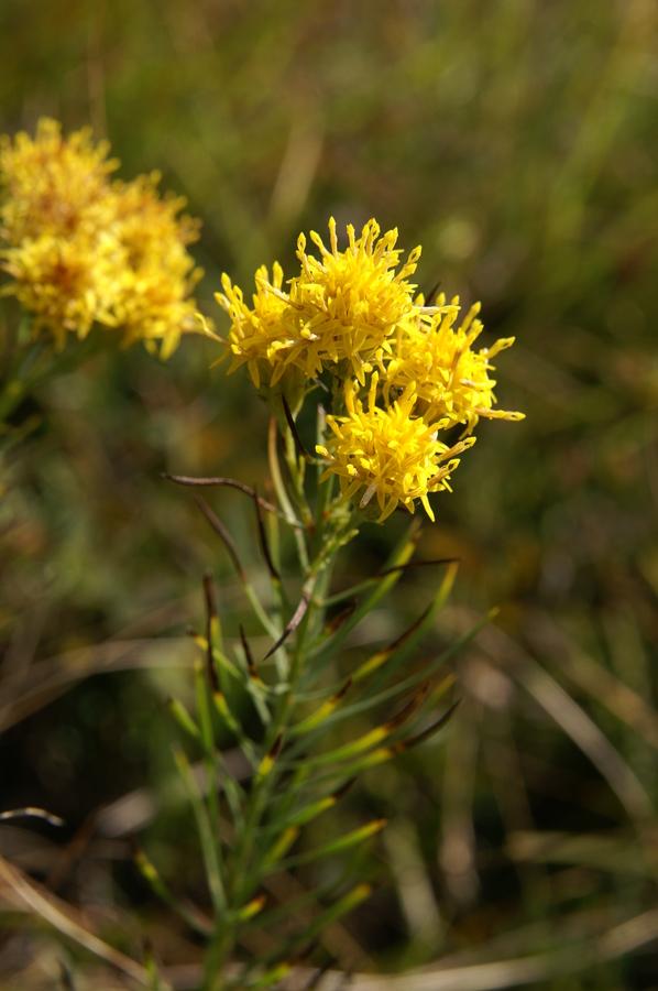 Zlata nebina (<i>Aster linosyris</i>), Polhograjska Grmada, 2008-09-21 (Foto: Benjamin Zwittnig)