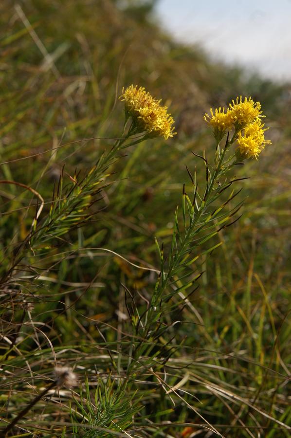 Zlata nebina (Aster linosyris), Polhograjska Grmada, 2008-09-21 (Foto: Benjamin Zwittnig)