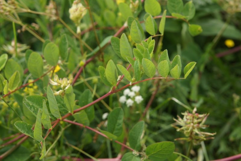Sladki grahovec (Astragalus glycyphyllos), planina Kuhinja (pod Krnom), 2010-07-19 (Foto: Benjamin Zwittnig)