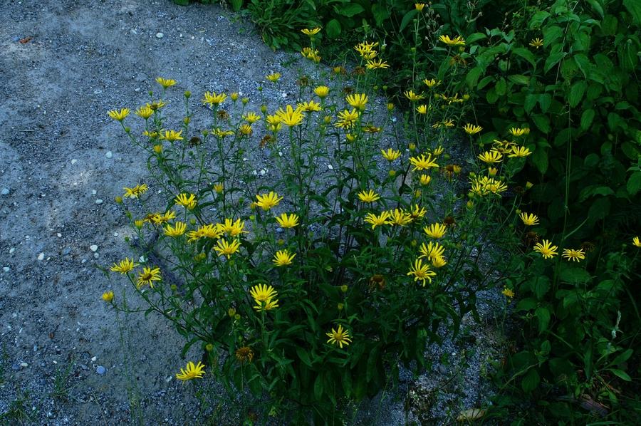 Primožek (<i>Buphthalmum salicifolium</i>), Fridrihštajn, 2006-07-08 (Foto: Benjamin Zwittnig)