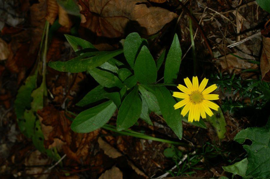 Primožek (<i>Buphthalmum salicifolium</i>), Gonte, 2006-10-11 (Foto: Benjamin Zwittnig)