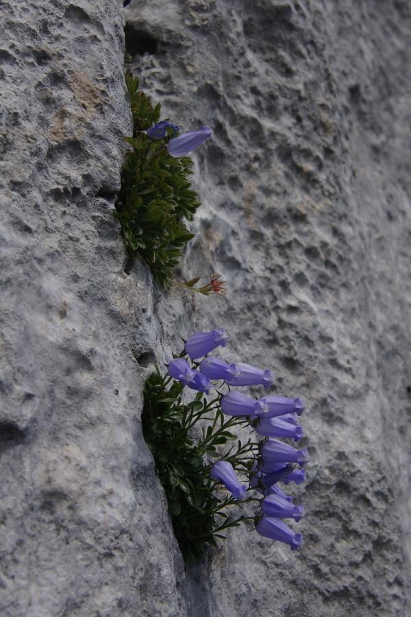 Zoisova zvončica (<i>Campanula zoysii</i>), 2013-08-11 (Foto: Benjamin Zwittnig)