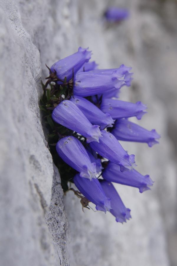 Zoisova zvončica (Campanula zoysii), 2013-08-15 (Foto: Benjamin Zwittnig)