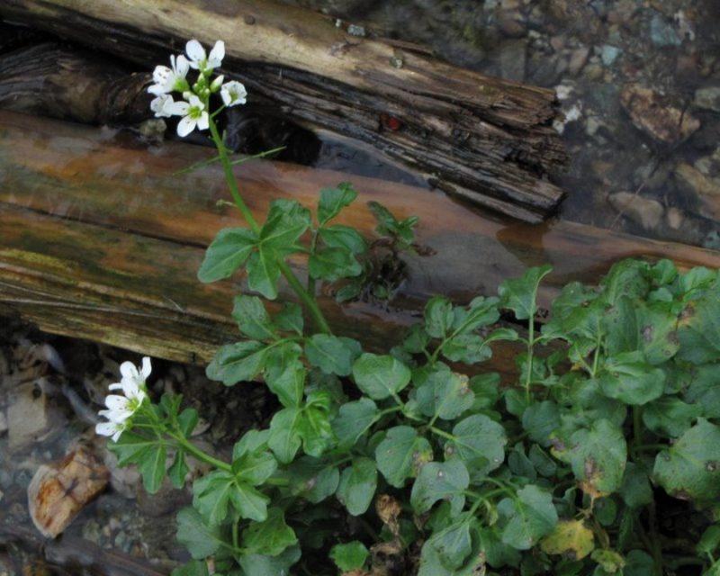 Grenka penuša (Cardamine amara), Kranjska reber, 2012-10-24 (Foto: Boris Gaberšček)