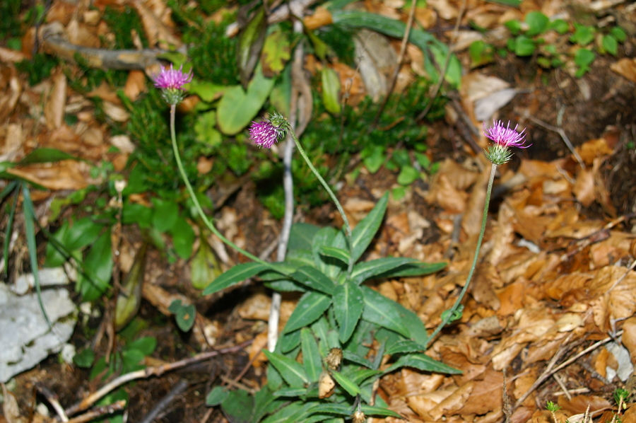 Debelolistni bodak (<i>Carduus crassifolius</i>), Vrata, 2006-10-12 (Foto: Benjamin Zwittnig)