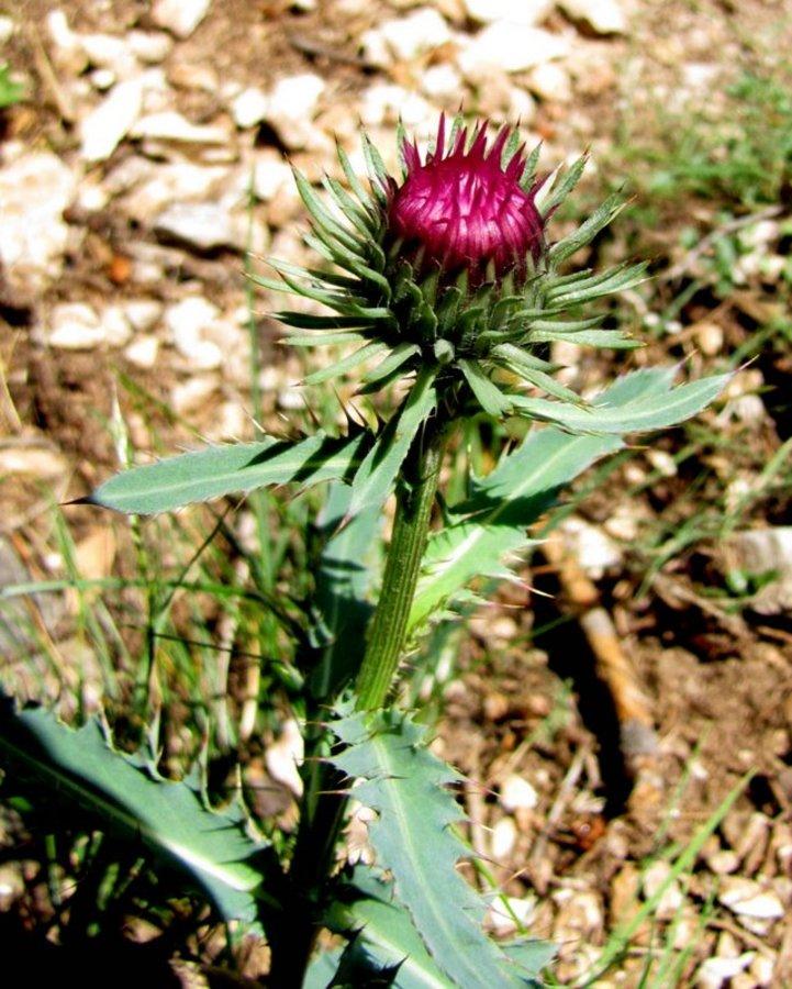 Alpski bodak (Carduus defloratus ssp. defloratus), Stegovnik (Kamniške Alpe), 2012-07-08 (Foto: Boris Gaberšček)