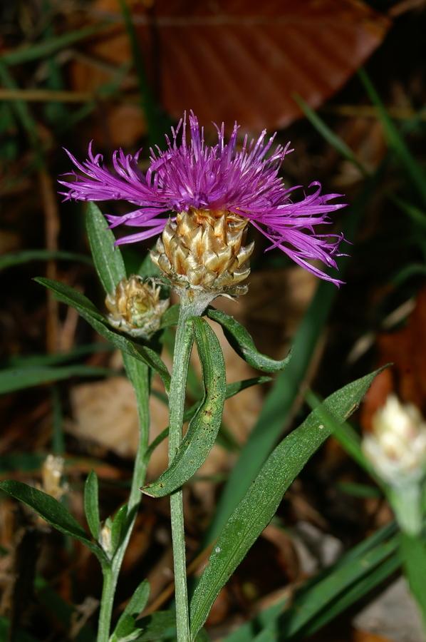 Navadni glavinec (Centaurea jacea), Tosc, 2006-10-11 (Foto: Benjamin Zwittnig)