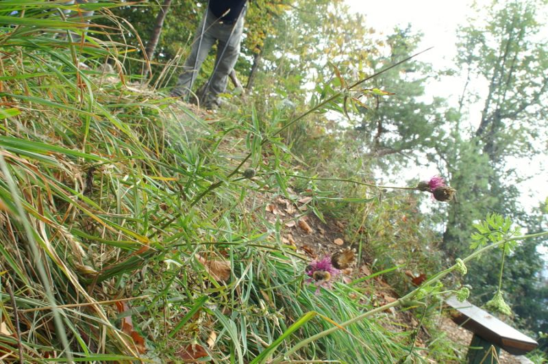 Stoebov glavinec (Centaurea rhenana), Tosc, 2006-10-11 (Foto: Benjamin Zwittnig)