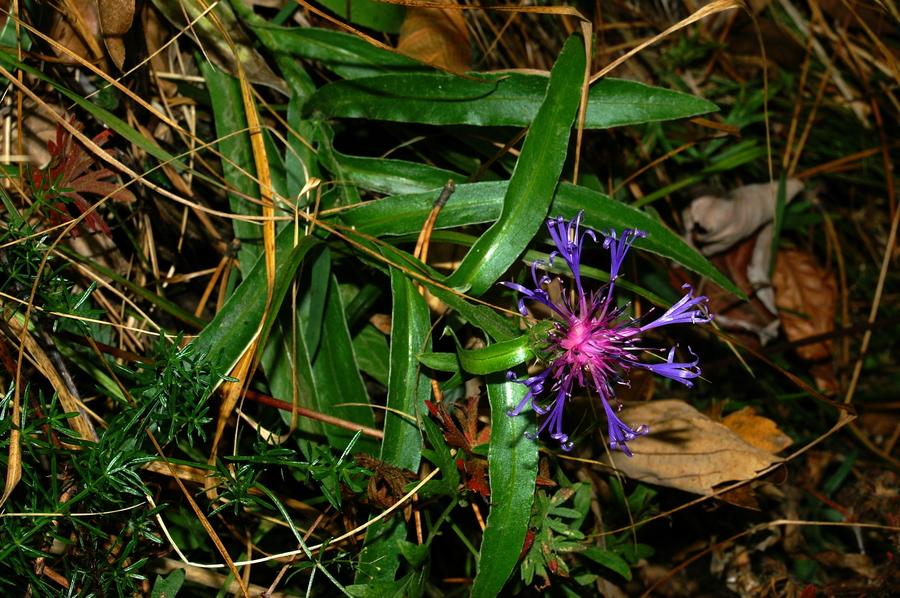Triumfettijev glavinec (<i>Centaurea triumfettii</i>), Gonte, 2006-10-11 (Foto: Benjamin Zwittnig)