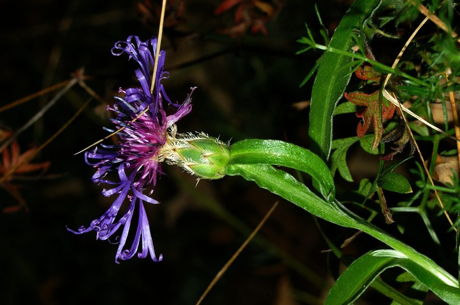 Triumfettijev glavinec (Centaurea triumfettii), Gonte, 2006-10-11 (Foto: Benjamin Zwittnig)
