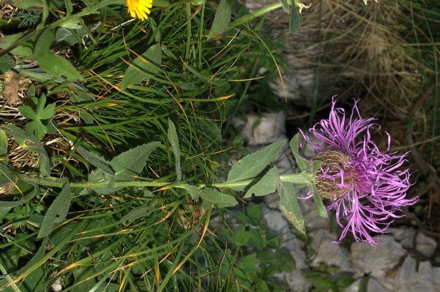 Peresasti glavinec (<i>Centaurea uniflora ssp. nervosa</i>), Veliki Draški vrh, 2007-07-22 (Foto: Benjamin Zwittnig)