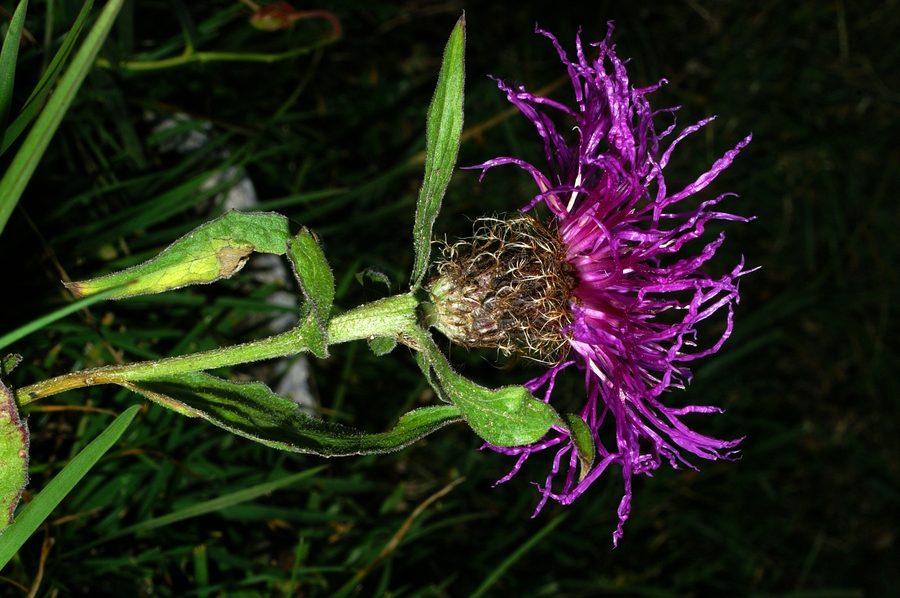 Peresasti glavinec (<i>Centaurea uniflora ssp. nervosa</i>), Viševnik, 2006-09-23 (Foto: Benjamin Zwittnig)