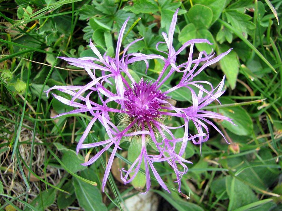 Peresasti glavinec (<i>Centaurea uniflora ssp. nervosa</i>), Tičarica – Zelnarica, 2009-08-18 (Foto: Sonja Kostevc)