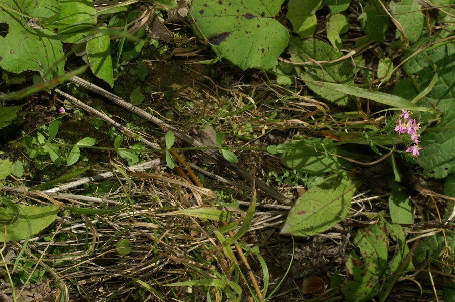 Zala tavžentroža (<i>Centaurium pulchellum</i>), Selo, 2007-09-02 (Foto: Benjamin Zwittnig)