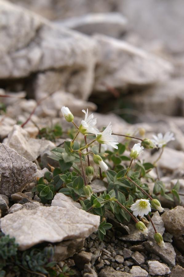 Koroška smiljka (Cerastium carinthiacum ssp. austroalpinum), Konjski preval - Planika, 2009-09-12 (Foto: Benjamin Zwittnig)