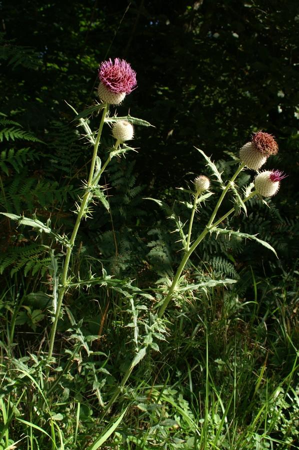 Volnatoglavi osat (<i>Cirsium eriophorum</i>), Pokojišče – Begunje, 2007-09-09 (Foto: Benjamin Zwittnig)