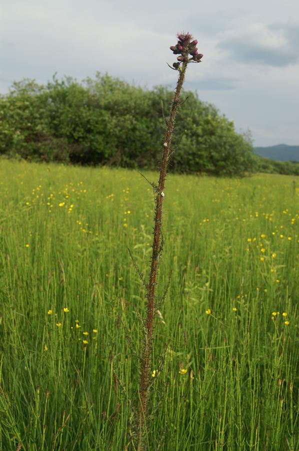 Močvirski osat (Cirsium palustre), Lj. barje, 2010-05-27 (Foto: Benjamin Zwittnig)