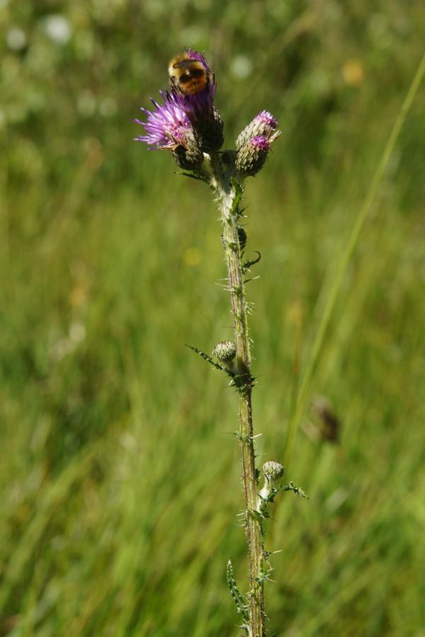 Močvirski osat (<i>Cirsium palustre</i>), Bloško jezero, 2013-07-31 (Foto: Benjamin Zwittnig)