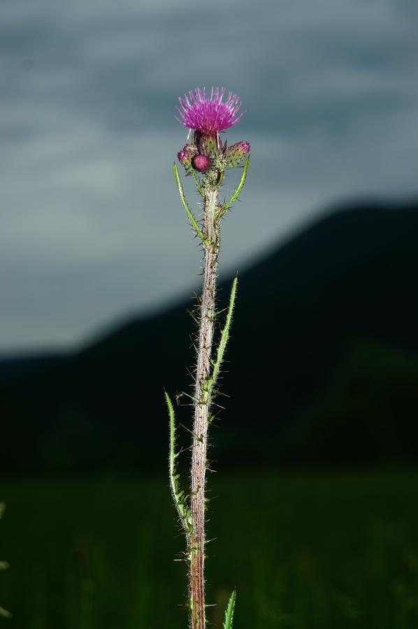 Močvirski osat (<i>Cirsium palustre</i>), Lj. barje, 2006-06-03 (Foto: Benjamin Zwittnig)