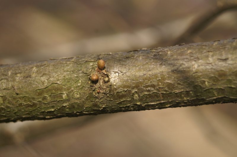 Navadna leska (Corylus avellana), Planina na Vrhniko, 2008-02-23 (Foto: Benjamin Zwittnig)