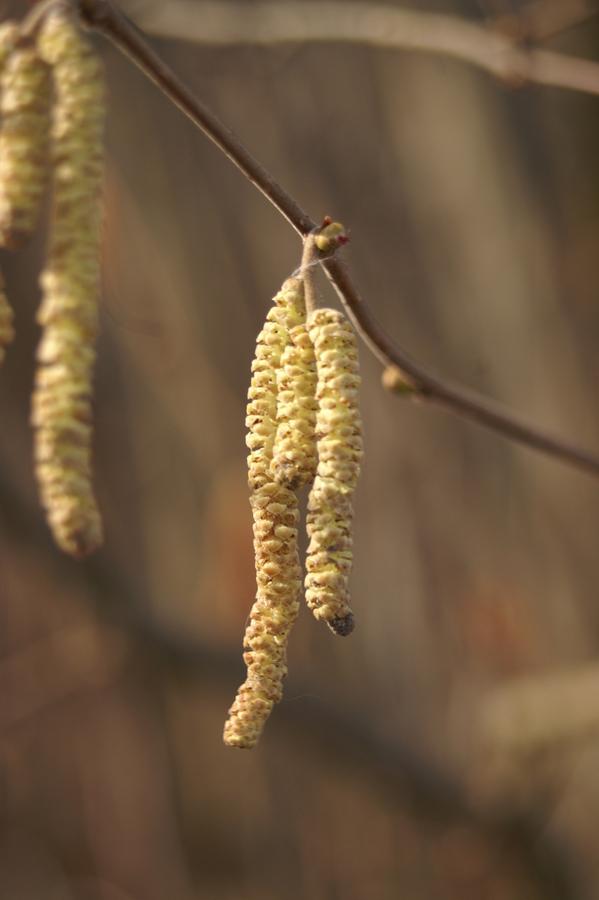 Navadna leska (<i>Corylus avellana</i>), Planina na Vrhniko, 2008-02-23,    Moški cvet. (Foto: Benjamin Zwittnig)