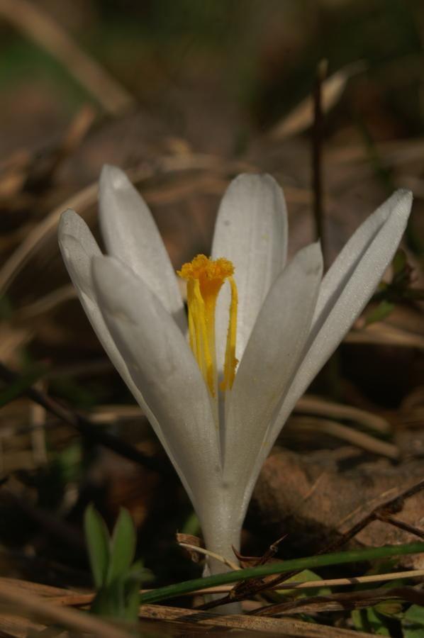 Nunka (Crocus vernus ssp. albiflorus), Setnica, 2008-03-02 (Foto: Benjamin Zwittnig)