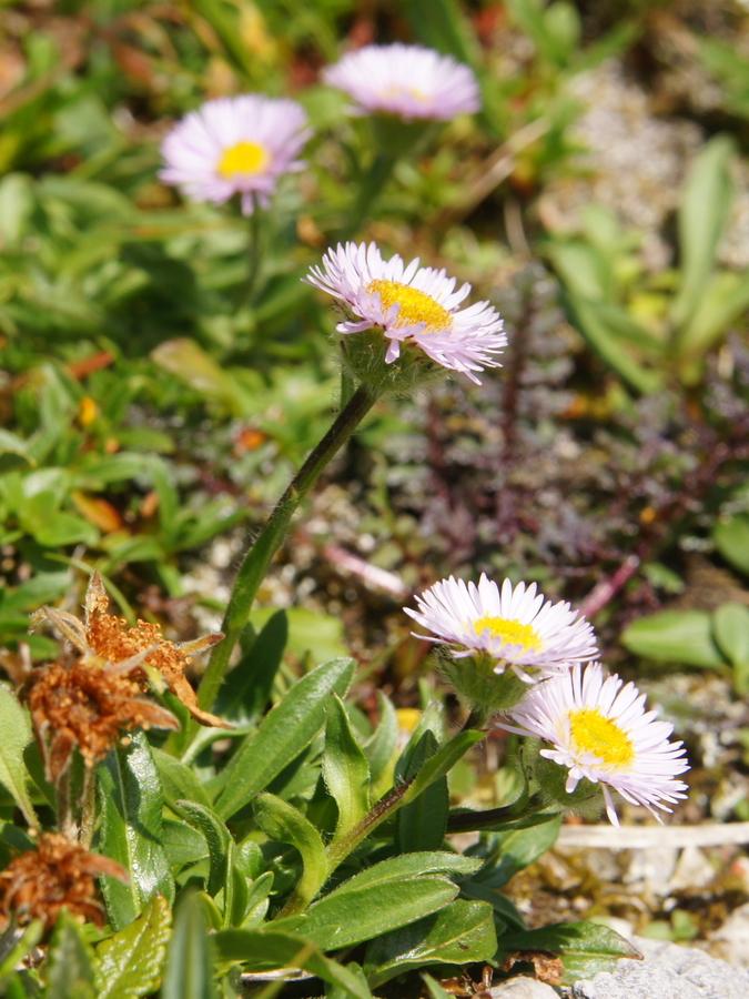 Mnogolična suholetnica (Erigeron glabratus), Mangrtsko sedlo, 2013-07-23 (Foto: Benjamin Zwittnig)
