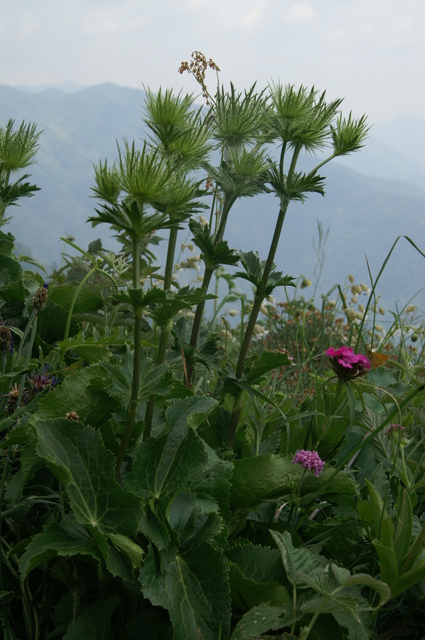 Alpska možina (<i>Eryngium alpinum</i>), 2010-07-03 (Foto: Benjamin Zwittnig)