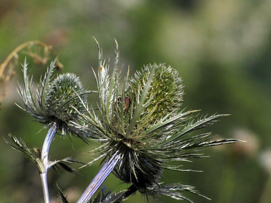Alpska možina (<i>Eryngium alpinum</i>), 2013-09-04 (Foto: Boris Gaberšček)