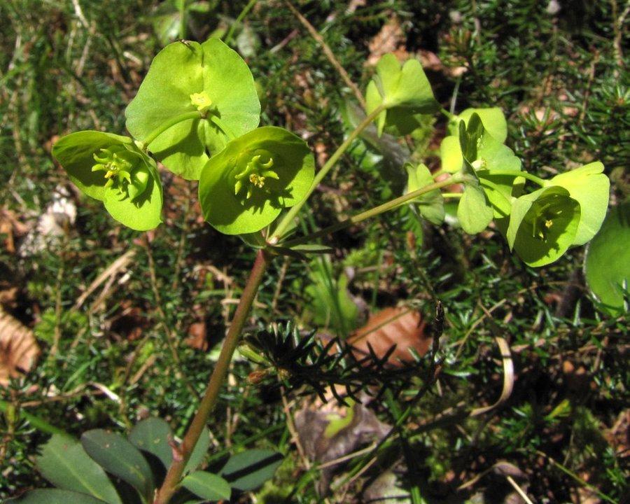 Mandljevolistni mleček (<i>Euphorbia amygdaloides</i>), dolina Kamniške Bele, 2012-04-27 (Foto: Boris Gaberšček)