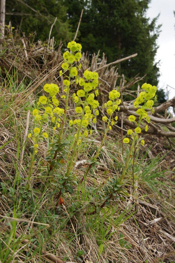 Mandljevolistni mleček (<i>Euphorbia amygdaloides</i>), Selo pri Robu, 2016-04-17 (Foto: Benjamin Zwittnig)